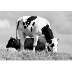 Micro mineralen belangrijk voor groei, vruchtbaarheid en weerstand van de koe