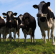 Voorkomen hittestress bij koeien en kalveren