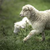 Geiten en schapen