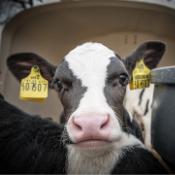 Kalvervoeding en melkpoeder
